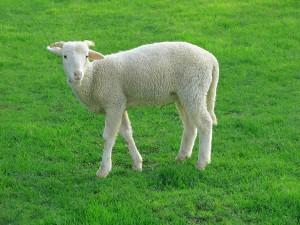 Lamb_09807-a